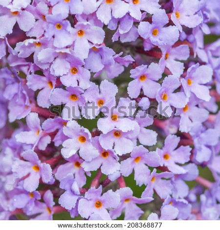 A macro shot of the small flowers of a butterfly bush bloom. - stock photo