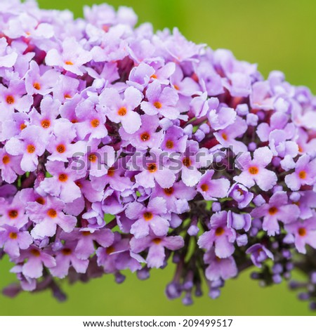 A macro shot of the very small blooms of a buddleia bush. - stock photo