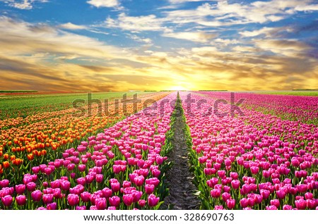 A magical landscape with sunrise over tulip field in the Netherlands - stock photo