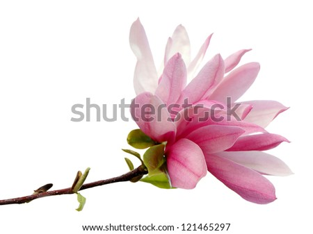 A magnolia blossom isolated on white background - stock photo