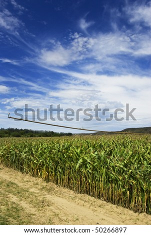 a Maize field before harvest - stock photo