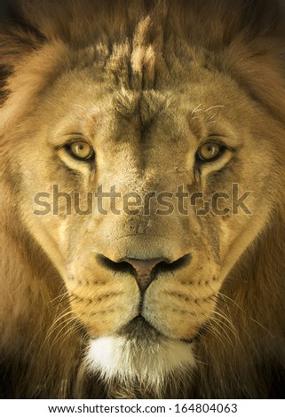 A majestic, almost magical portrait illustration of the male Lion, King of Beasts, shot at the local zoo. Selective focus on face and eyes. - stock photo