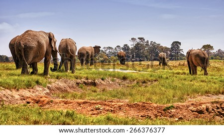 A majestic herd of Elephants Roaming through Africa. - stock photo