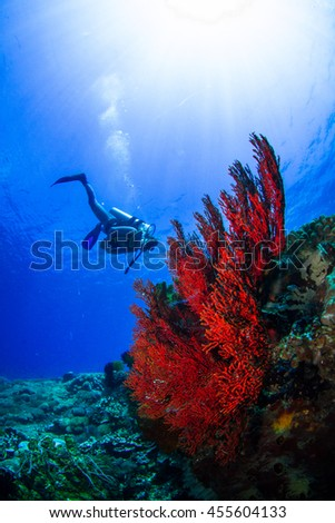 A make diver observing the underwater beauty. Beautiful underwater world, landscape on the down side, with soft corals, hard corals and sponges. Nusa Penida, Indonesia. - stock photo