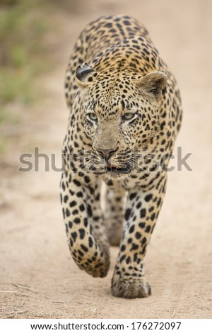 A male African Leopard walking in South Africa's Mala Mala Private Game Reserve - stock photo