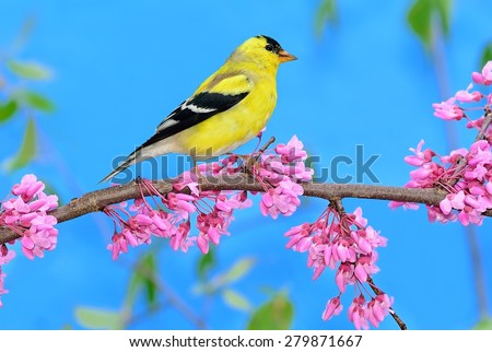 A male American Goldfinch on the branch of a flowering redbud tree with blue sky in the background. - stock photo