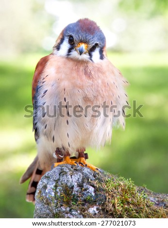A male American kestrel perched on a rock - stock photo