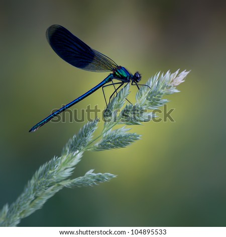 A male Banded Demoiselle (Calopteryx splendens)  with a beautiful soft background - stock photo
