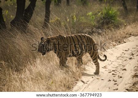 A Male Bengal Tiger walking through tall grass.Image captured during a safari at Bandhavgarh National park in Madhya Pradesh,India Scientific name- Panthera Tigris - stock photo
