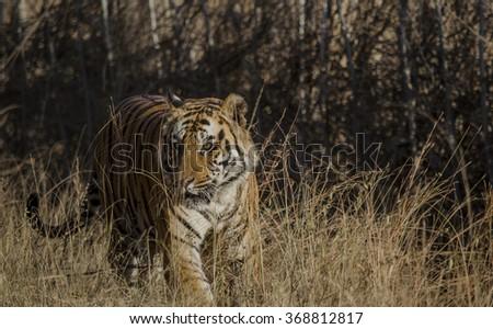 A Male Bengal Tiger walking through tall grass.Image taken at Bandhavgarh national park in Madhya Pradesh,India   Scientific name- Panthera Tigris - stock photo