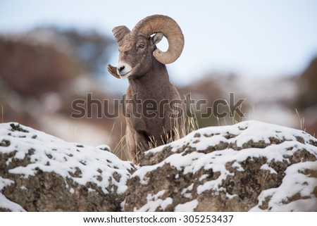 A male big horn sheep peers over a rock and looks down for any approaching danger - stock photo