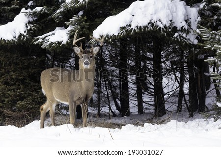 A male buck (deer) in a snow covered forest - stock photo