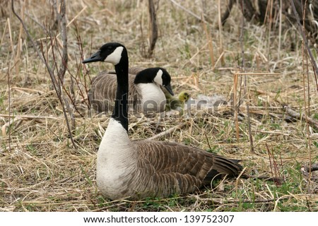 A male Canada Goose standing watch over a female and her goslings in a nest in spring in Winnipeg, Manitoba, Canada - stock photo