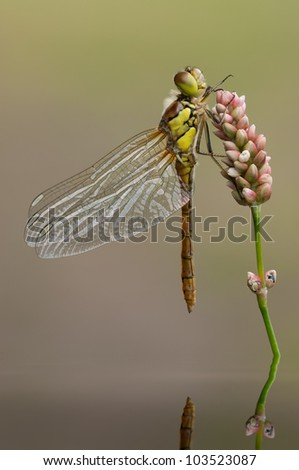 A male Common Darter dragonfly resting on a pond flower and reflected in the water. - stock photo