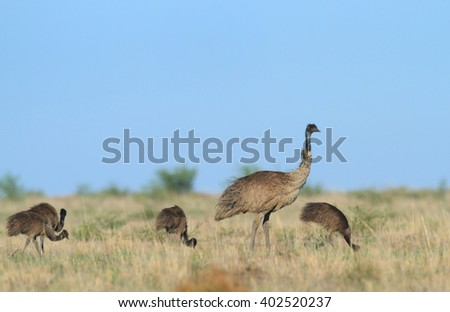 A male Emu - Dromaius novaehollandiae - keeps watch while chicks feed in arid grasslands in the Australian outback. - stock photo