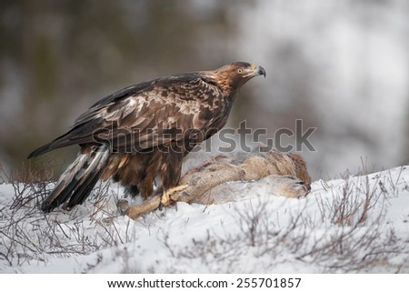 A male Golden Eagle scavenging on a dead Roe Deer. - stock photo