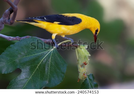 A male golden oriole feeding on a fig fruit - stock photo