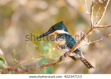 A male Green Kingfisher (Chloroceryle Americana) perched on a branch against a blurred natural background, Pantanal, Brazil - stock photo