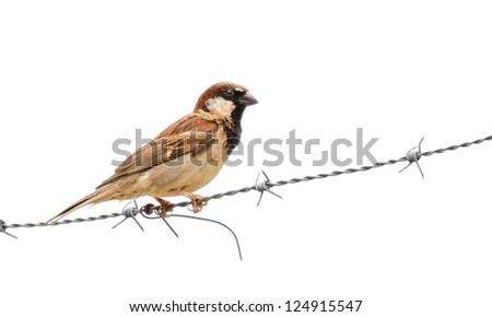 A male house sparrow standing on barbed wire - stock photo