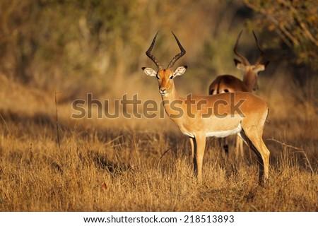 A male impala antelope (Aepyceros melampus) in natural habitat, South Africa - stock photo
