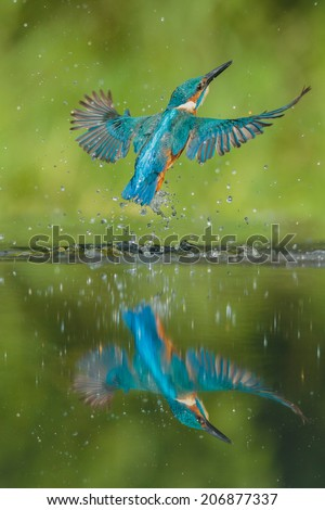 A male Kingfisher bursts from the water in a shower of spray and water droplets after failing to catch a fish. His reflection in the water in nearly perfect. - stock photo
