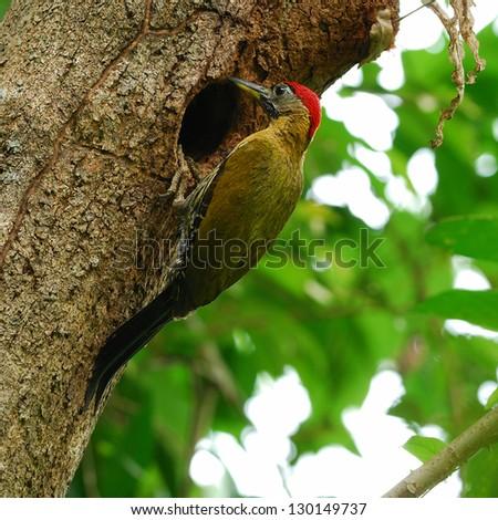 A male Laced Woodpecker(Picus vittatus) - stock photo
