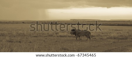 A male lion during sunset in the Masai Mara in Kenya (sepia/panoramic). - stock photo