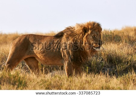 A male lion in Etosha National Park in Namibia - stock photo