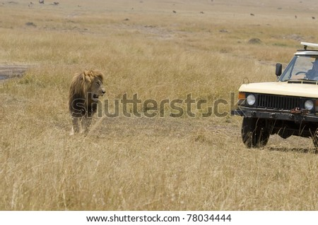 A male lion looks at the nearby safari goers. - stock photo
