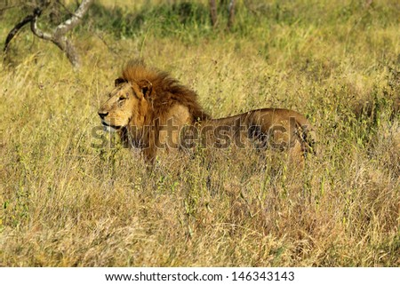 A male lion (Panthera Leo) in Serengeti National Park, Tanzania - stock photo