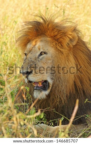 A male lion (Panthera Leo) resting in the shade - stock photo