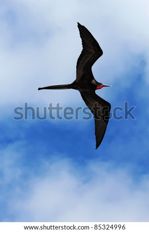 A male magnificent frigatebird (Fregata magnificens) flies overhead off the Galapagos Islands, Ecuador against a blue sky and white clouds vertical - stock photo