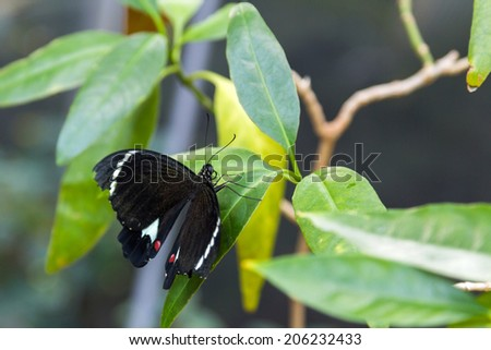 A male Orchard Swallowtail Butterfly - stock photo