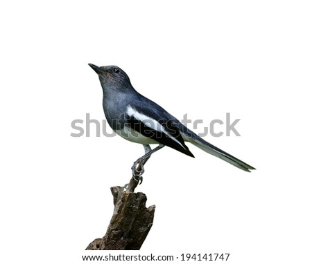 A male Oriental Magpie-Robin, Magpie Robin (Copsychus saularis) isolated on white background - stock photo