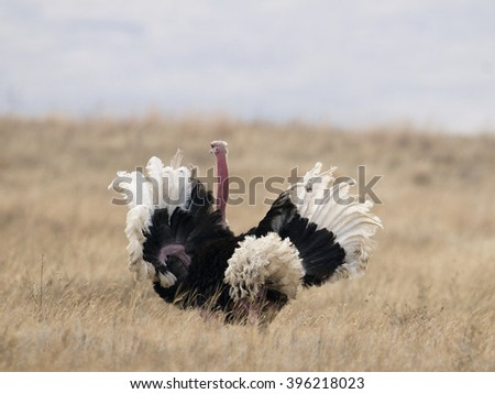 A male ostrich completes his mating ritual with a flourish of his large wings in the Ngorongoro Crater, Tanzania. - stock photo