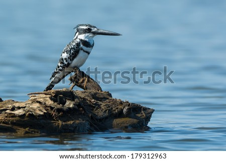 A male Pied Kingfisher (Ceryle rudis) perched on a piece of wood in water - stock photo