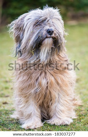 Long-haired tibetan dog Stock Photos, Illustrations, and Vector Art