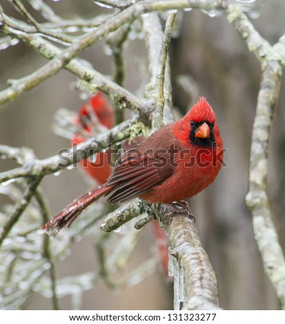 A male redbird perched on a frozen day. - stock photo