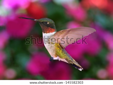 A Male Ruby- throated Hummingbird (Archilochus colubris) with blurred impatiens flowers in the background. - stock photo