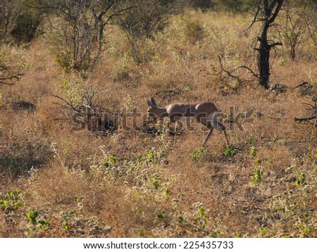 A Male Steenbok moves cautiously through light scrub in the South African Veld   - stock photo
