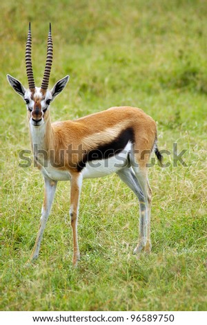 A male Thomson's gazelle standing in grass and looking forward - stock photo