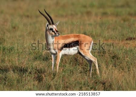 A male Thomsons gazelle (Eudorcas thomsonii), Lake Nakuru National Park, Kenya - stock photo