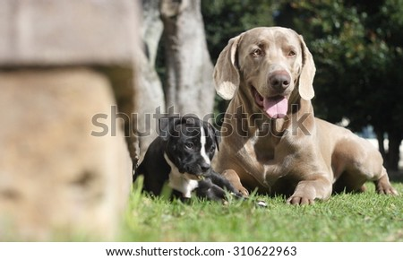 A male weimaraner and a black and white female pitbull / pit bull / pit-bull playing together  - stock photo