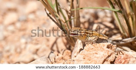 A male Western Side-Blotched Lizard suns itself in Red Rock Canyon State Park, Nevada. - stock photo