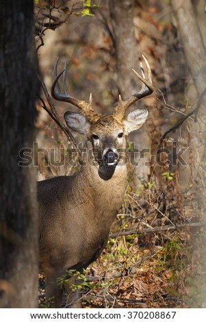 A male white-tailed (whitetail) deer with eight-point antlers peering through trees and branches in woods during the rut. The deer is looking at the camera. The photo was taken in Iowa. - stock photo