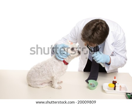 A maltese terrier receives a checkup at a veterinary clinic. - stock photo