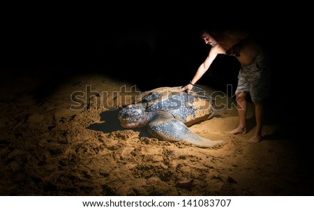 A man touches a large leatherback sea turtle - stock photo