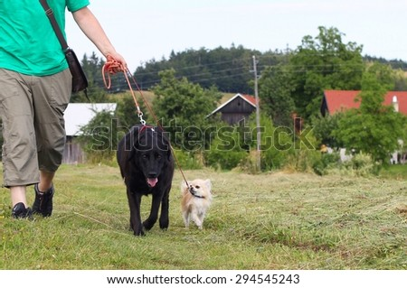 A man walking two dogs small and big on a country farm - stock photo