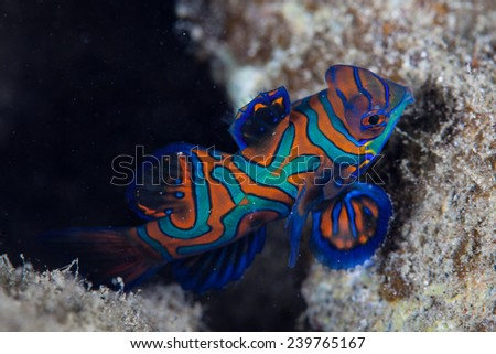 A Mandarinfish (Synchiropus splendidus) swims over rubble in a tropical western Pacific lagoon. This brightly-colored reef fish can be seen spawning virtually every evening. - stock photo