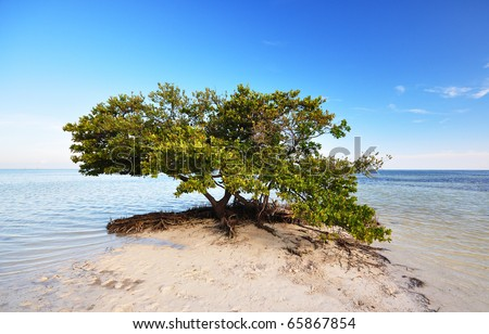a mangrove tree (Rhizophora) beside the Atlantic ocean - stock photo